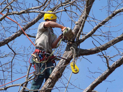 Yard services to trim large trees are available